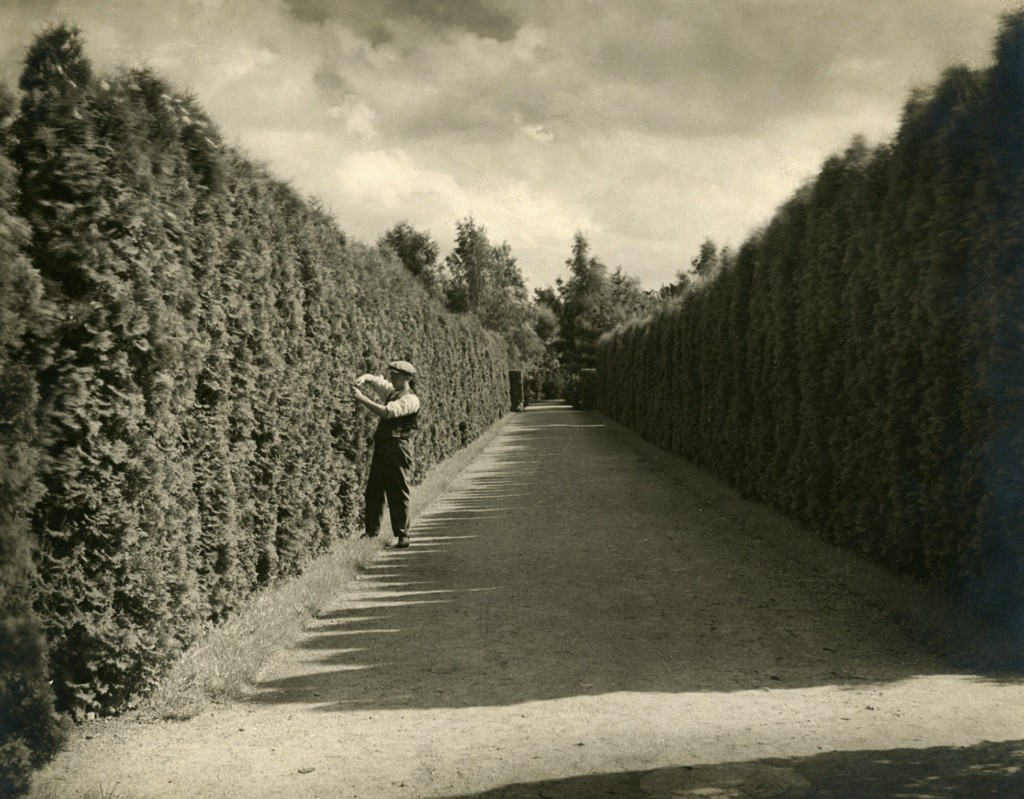 Et andet sted på kirkegården i nærheden af Holmegårdsvej var gartner Peddersen, Lyngby i gang med hækklipningen i det flotte hækrum 1930. Med håndsaks forstås.